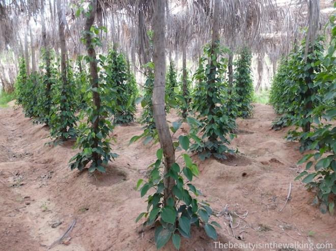Une jeune plantation de poivriers.