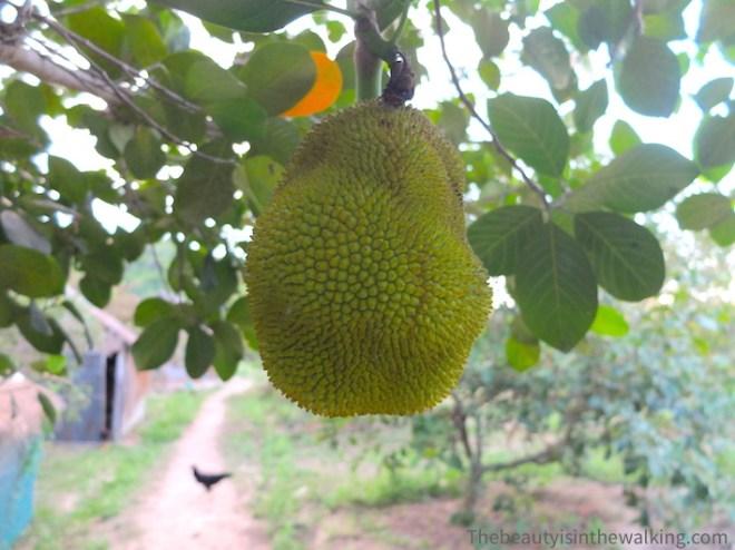 Le fruit du jacquier.