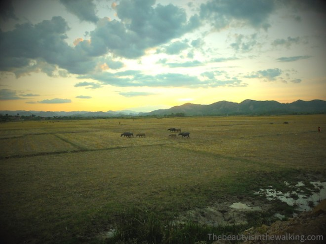 Buffaloes in the fields
