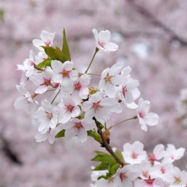Cerisiers en fleurs - cherry blossom