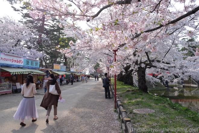 Cerisiers en fleurs à Hirosaki, Japon