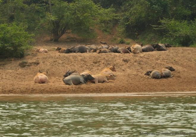 Buffles, Laos