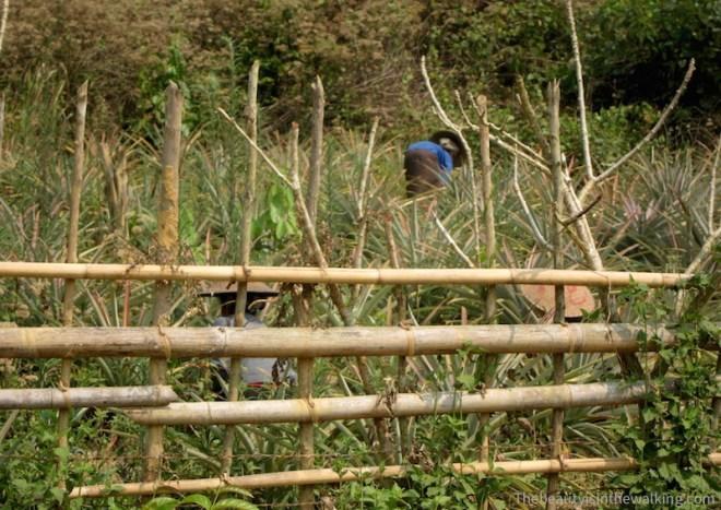 Femmes laotiennes dans les champs