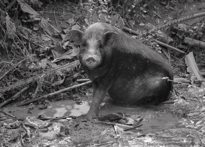 Cochon noir, Laos