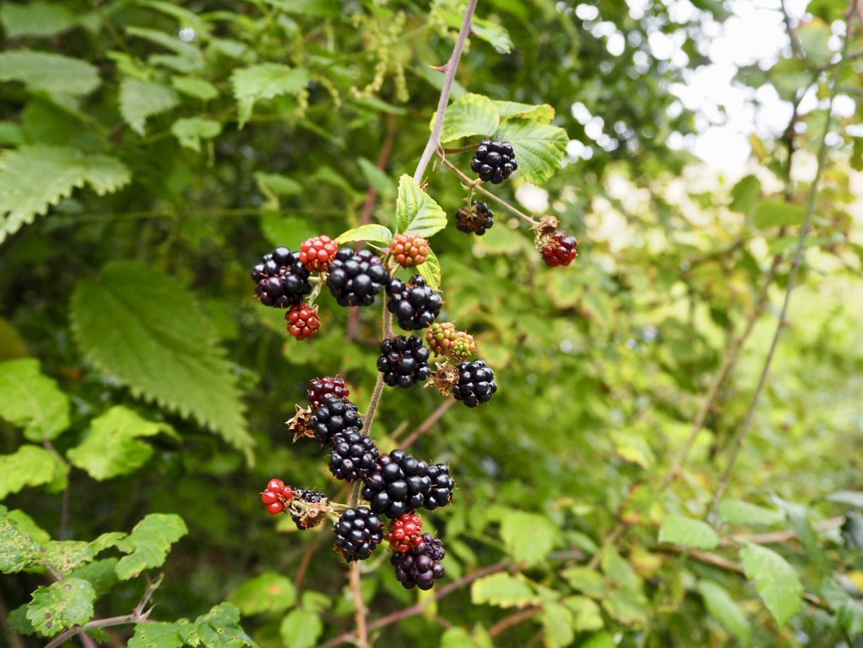 Blackberries. The wonder of autumn