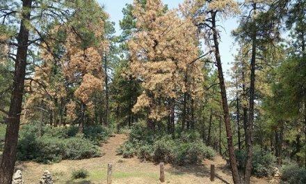 Hualapai Mountain Park Impacted By Western Bark Beetles