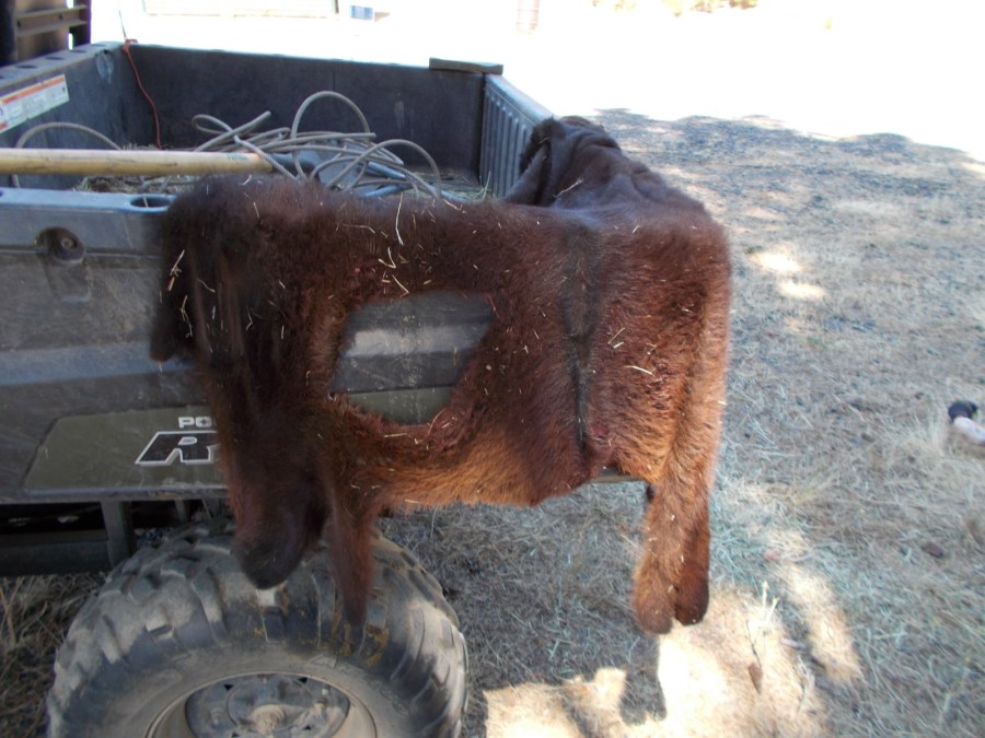 """A leg hole for the new baby. This is a trade secret many producers don't think about doing. If you cut 4 holes in the hide, it acts like a """"jacket"""" so you don't have to use string (that a cow could eat, and then die from)."""