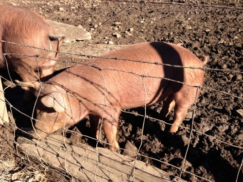 Pig picture 3