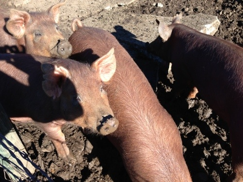 Pig picture 1