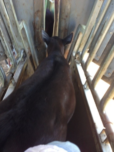 """I was the """"pusher inner"""" today. The one that gets behind the calves to push them into the chute. These """"babies"""" have me out-weighed by a hundred plus pounds. They handed my ass to my today."""