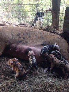 Aunt Hoot dog was very worried about these little pigs!