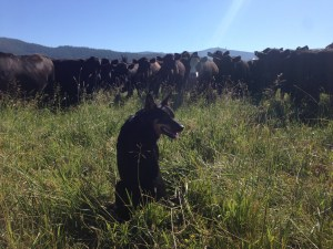 Herd-mates of your beef checking out Boo dog