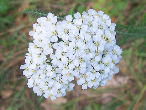Yarrow Photo credit: Peter O'Connor