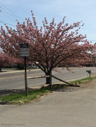 Bursting Cherry Blossum