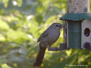 Gray Catbird at Feeder