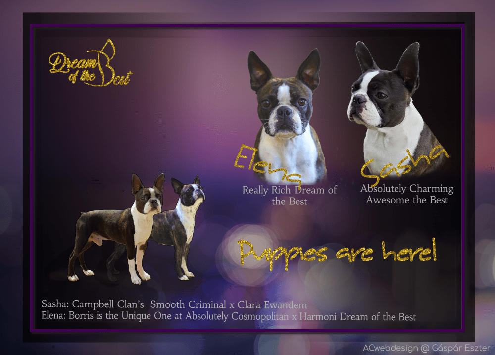 Elena Sasha 2021 Really rich dream of the best absolutely charming the best sasha dream of the best boston terrier kennel kiskutyák alom új törkönyves mestertenyésztő 1