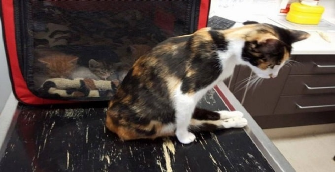 Princess the cat was left paralysed after the alleged attack. Photo: Sawyers Gully Animal Rscue