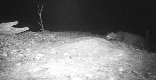 An infrared camera shows a feral cat stalking a nest.