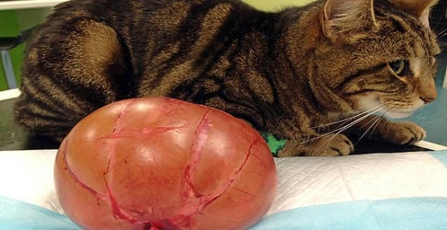 Milly the cat almost died after her kidney grew to the size of a melon