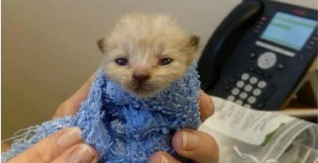 Champ the kitten