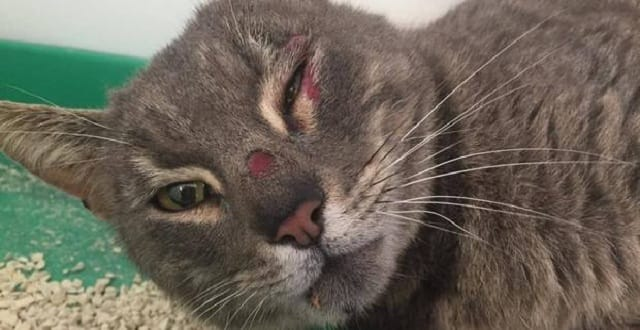 A cat was left with a possible broken knee and head injuries after it was seen being ejected from a car window in Auckland yesterday. Photo / Facebook