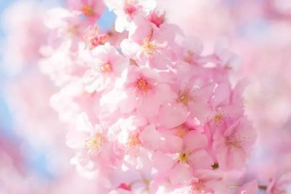 単焦眼レンズで撮影した桜のイメージ