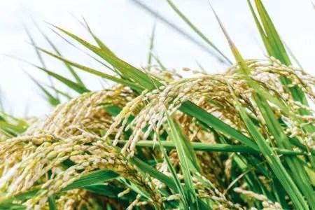 さとふる お米の返礼品