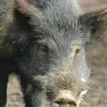 Feral Pig in Texas