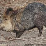 Wild Javelina Hogs in Texas--Great Sausage