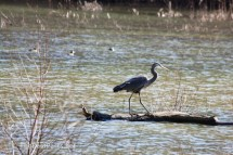 Great Blue Heron strutting