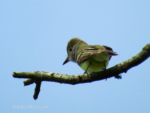 Great-crested Flycatcher.2