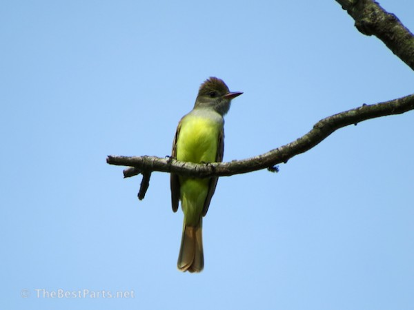 Great-crested Flycatcher.3