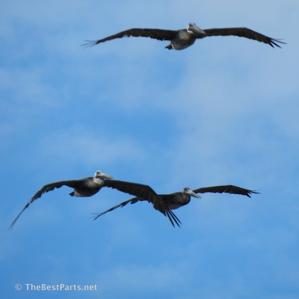 Brown Pelicans coming