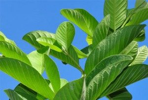 how to make soap from guava leaves