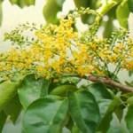 Utilization of SonoKembang Plants (Pterocarpus Indicus) As Pain Relievers in Porous Dent