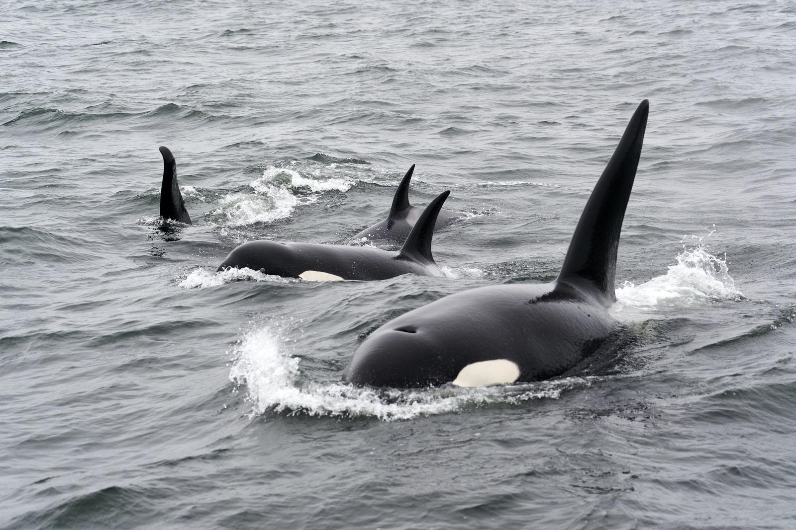 Document Dump Reveals Doc Put Politics Ahead of Toa the Orca's Welfare