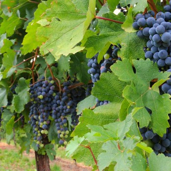 Grapes! Sweet & delicious & ripe for the plucking