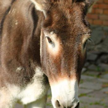 A Bulgarian donkey. Not the one responsible for the unfortunate mishap, but complicit nonetheless.