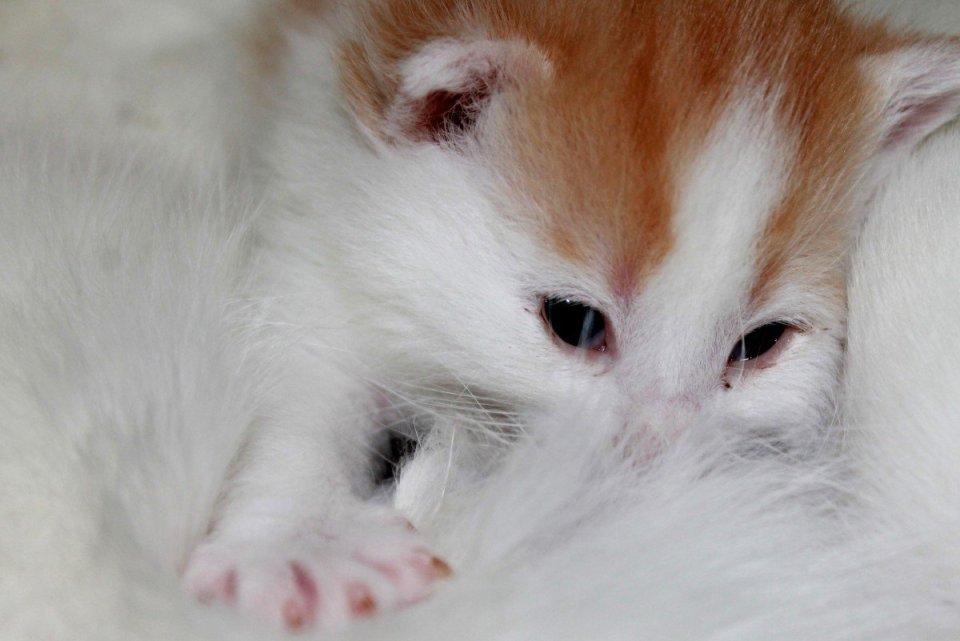 Cat Pregnancy - Pregnant Cat Labor Signs