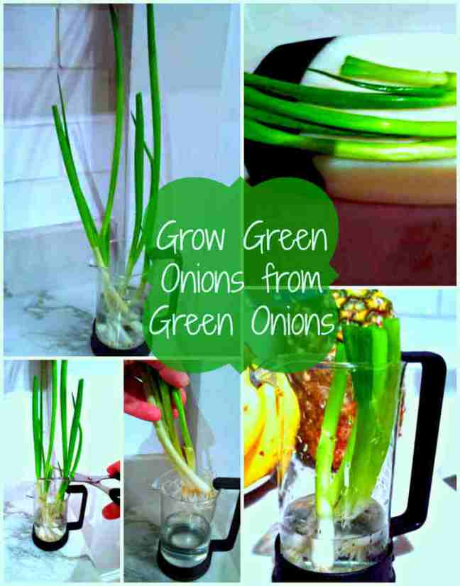 growing green onions from green onions