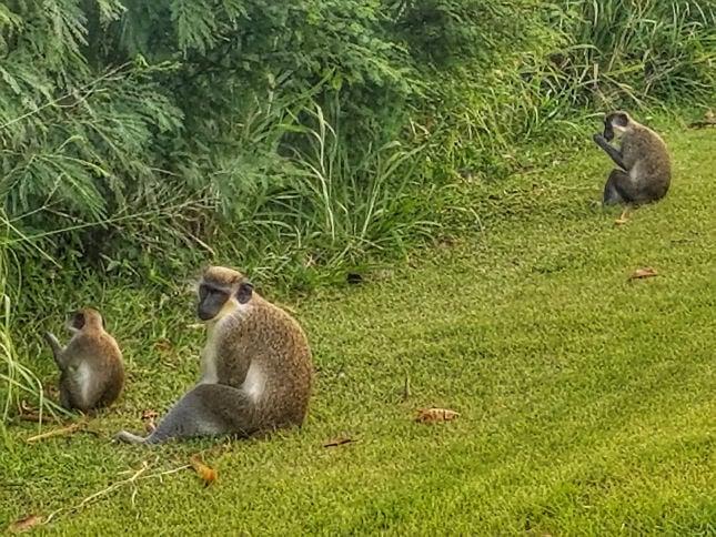 Wild monkeys on the golf course of four seasons Nevis