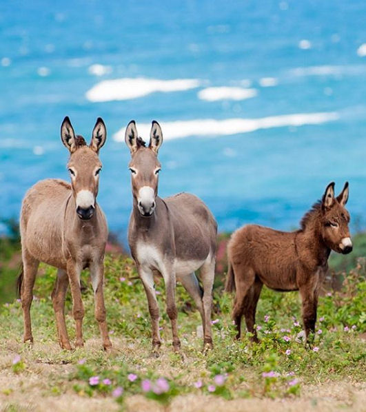 Wild donkeys on Nevis