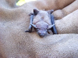Life Cycle The Big Brown Bat