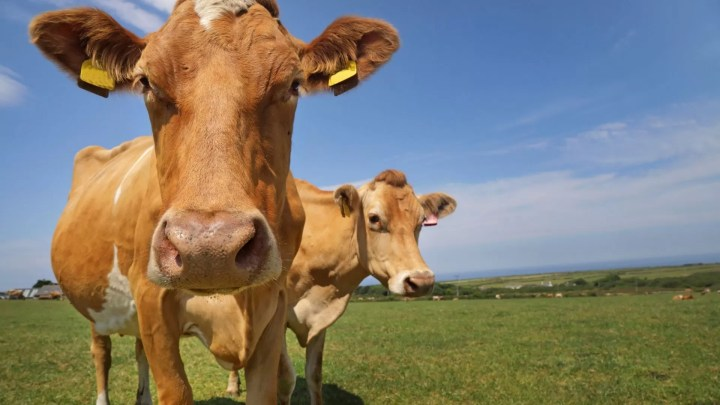 guernsey cow breed