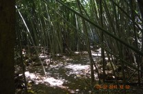 The bamboo forest.