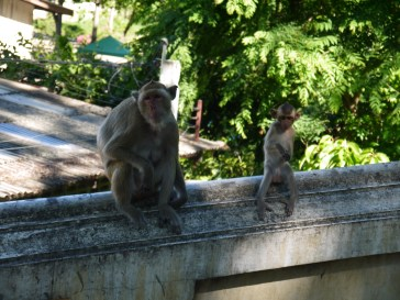 4 monkey in training in phetchaburi