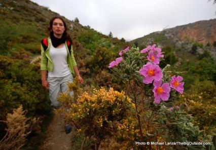 The wildflower cistus albi.