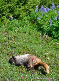 Marmot in Spray Park.