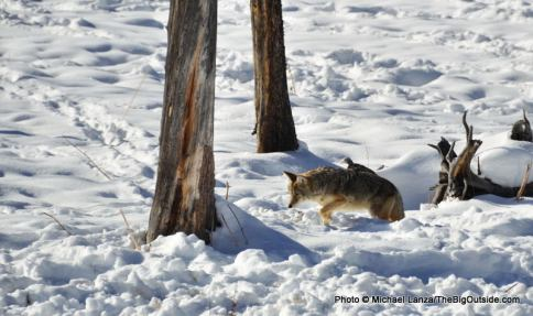 Coyote, Midway Geyser Basin, Yellowstone