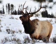 Elk along West Entrance Road, Yellowstone